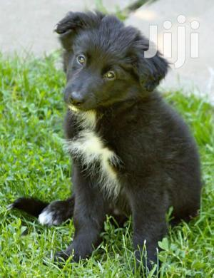 Baby Male Mixed Breed Border Collie