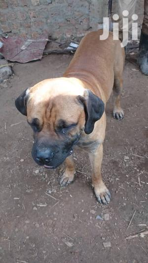 Baby Male Purebred Boerboel   Dogs & Puppies for sale in Central Region, Kampala