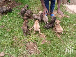 Young Female Purebred Boerboel   Dogs & Puppies for sale in Central Region, Kampala