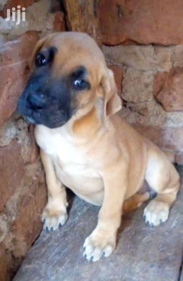 Archive: Young Male Purebred Boerboel