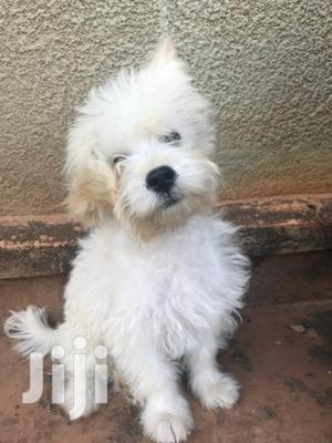 Baby Female Purebred Maltese | Dogs & Puppies for sale in Central Region, Mukono
