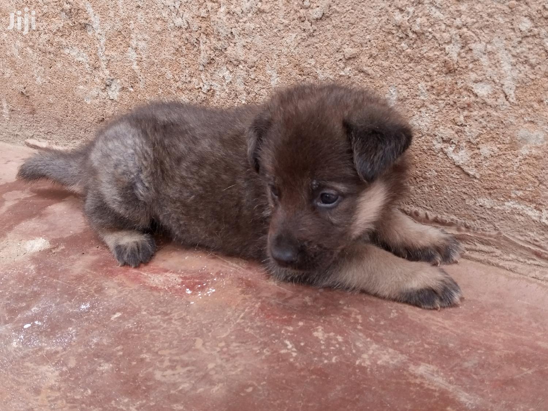 Archive: Baby Male Purebred German Shepherd