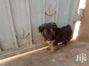 Baby Male Purebred German Shepherd | Dogs & Puppies for sale in Western Region, Mbarara