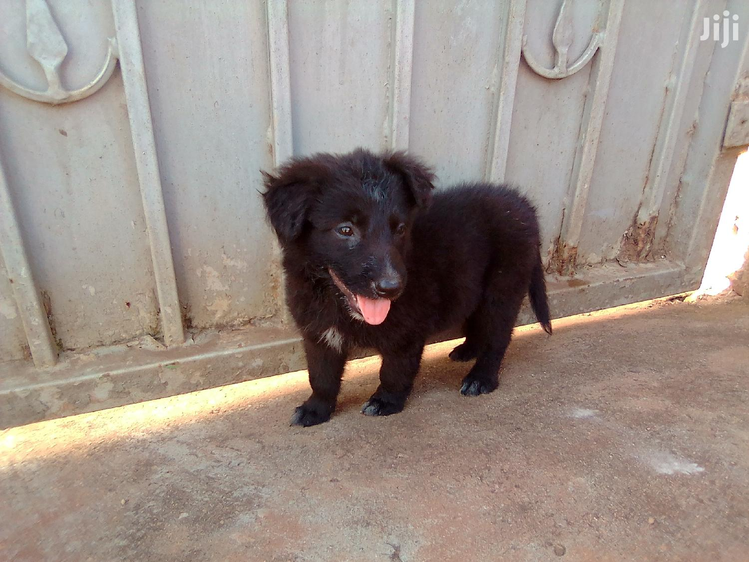 Baby Male Purebred German Shepherd | Dogs & Puppies for sale in Mbarara, Western Region, Uganda