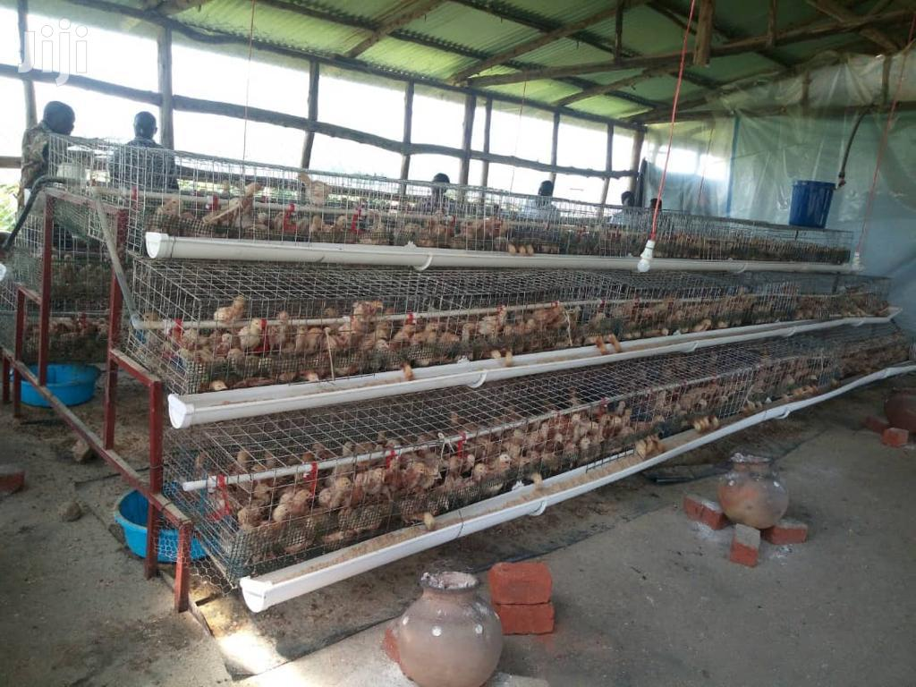 320 Chicks Cages