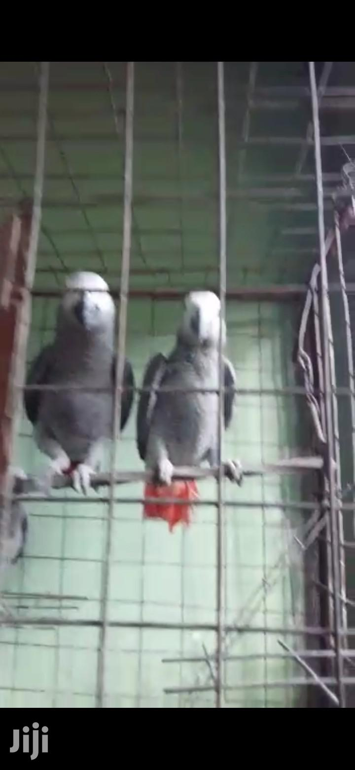 Archive: African Gray Parrots