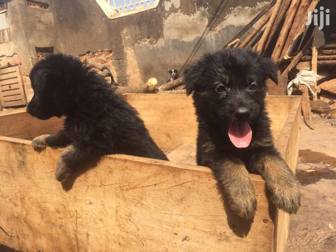 Baby Male Purebred German Shepherd | Dogs & Puppies for sale in Kampala, Central Region, Uganda