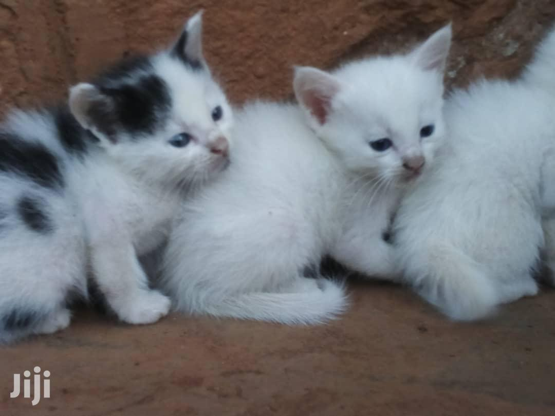 1-3 Month Male Mixed Breed Cat | Cats & Kittens for sale in Kampala, Central Region, Uganda