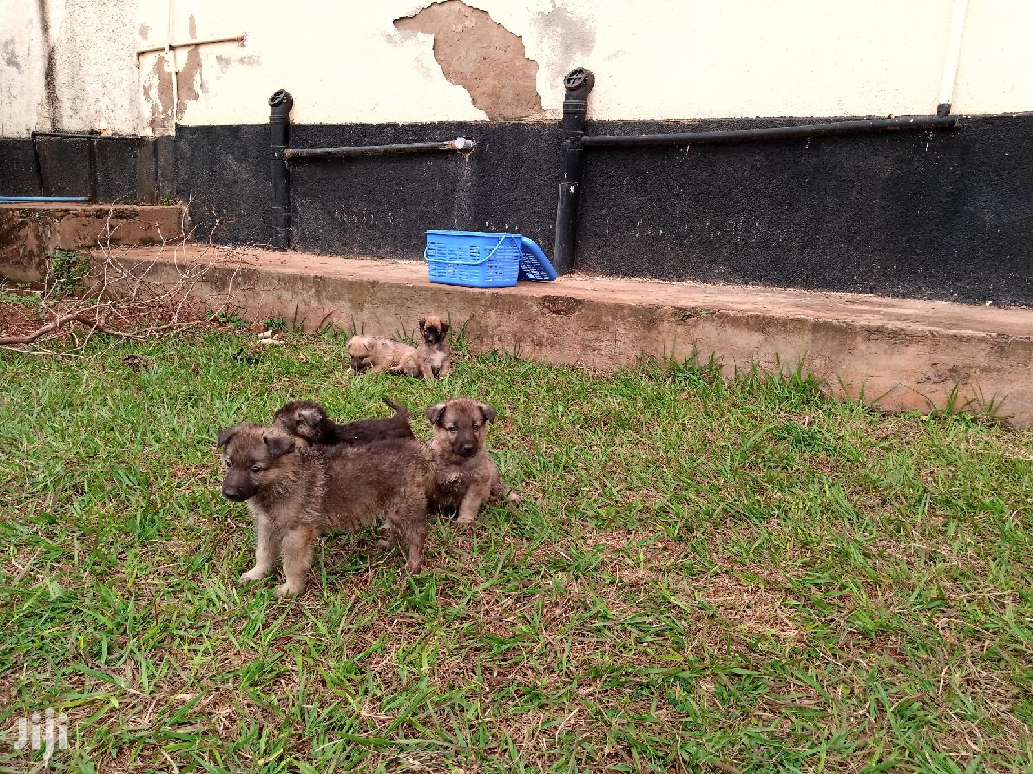 Archive: Baby Male Purebred German Shepherd
