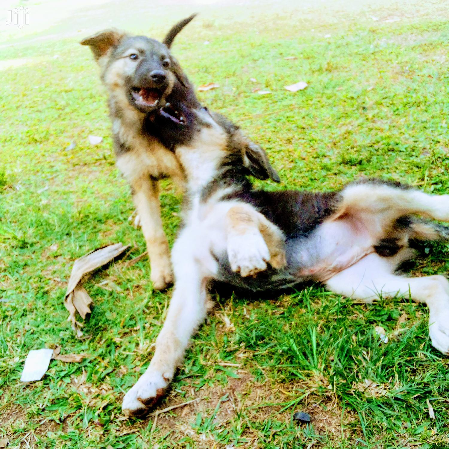 Baby Male Purebred German Shepherd