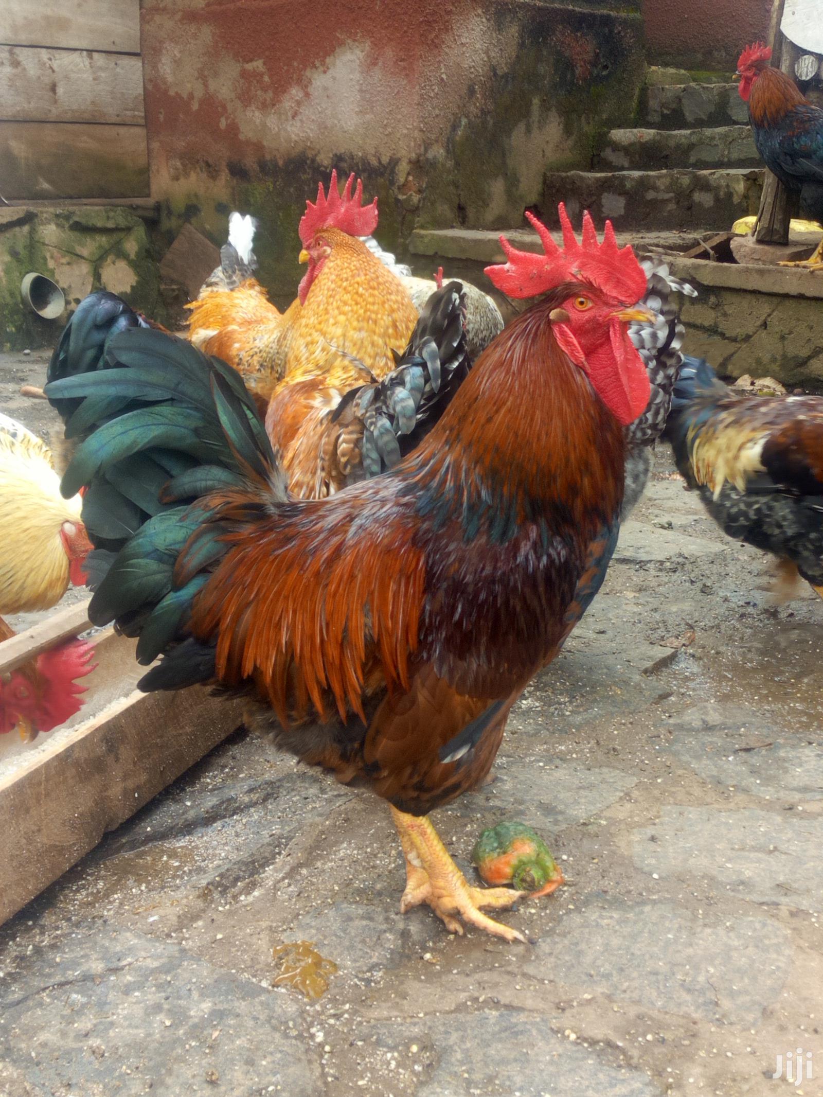 Kuroiler Chickens   Livestock & Poultry for sale in Kampala, Central Region, Uganda