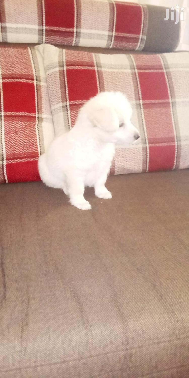 1-3 month Male Purebred Maltese | Dogs & Puppies for sale in Kampala, Central Region, Uganda