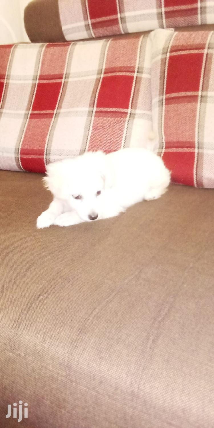 1-3 month Male Purebred Maltese