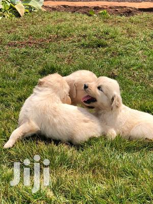 Young Female Purebred Golden Retriever | Dogs & Puppies for sale in Central Region, Kampala