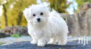 Young Male Purebred Maltese   Dogs & Puppies for sale in Central Region, Kampala