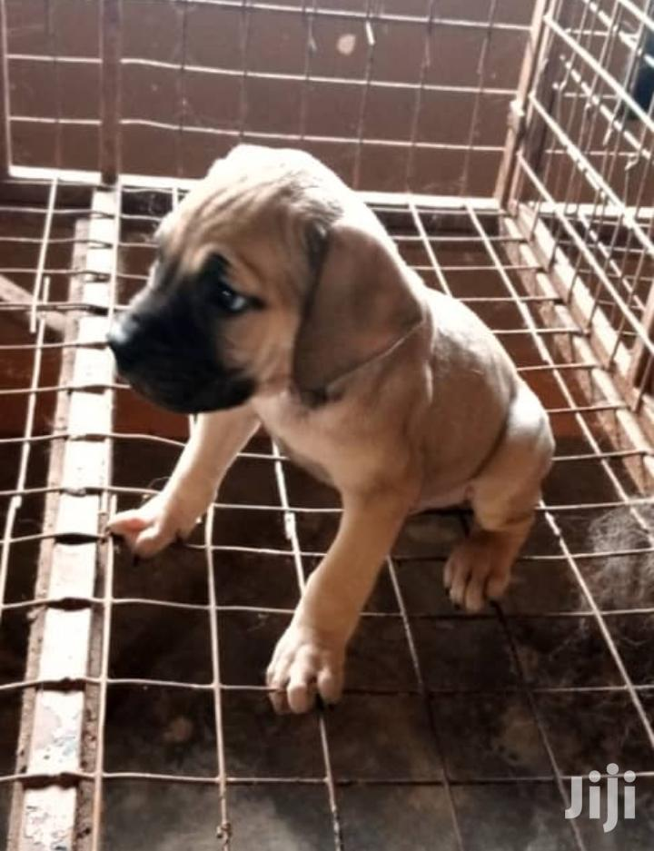 Young Male Purebred Boerboel