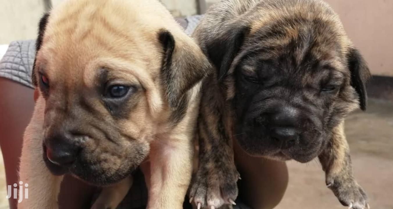 Young Male Purebred Boerboel | Dogs & Puppies for sale in Kampala, Central Region, Uganda