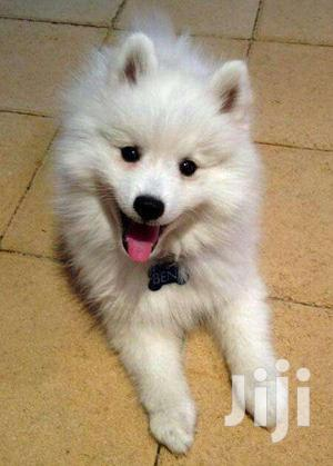 Baby Female Purebred Japanese Spitz   Dogs & Puppies for sale in Central Region, Kampala