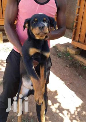 Six Months Old Rottweiler Puppies   Dogs & Puppies for sale in Central Region, Kampala