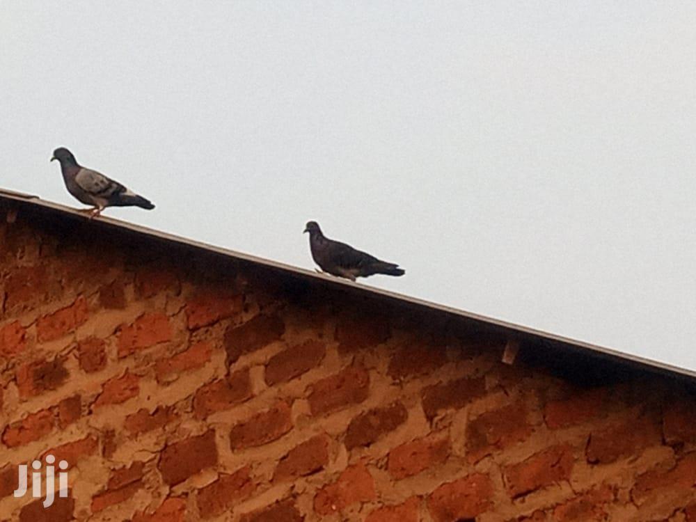 Pegions Birds For Sale | Birds for sale in Wakiso, Central Region, Uganda