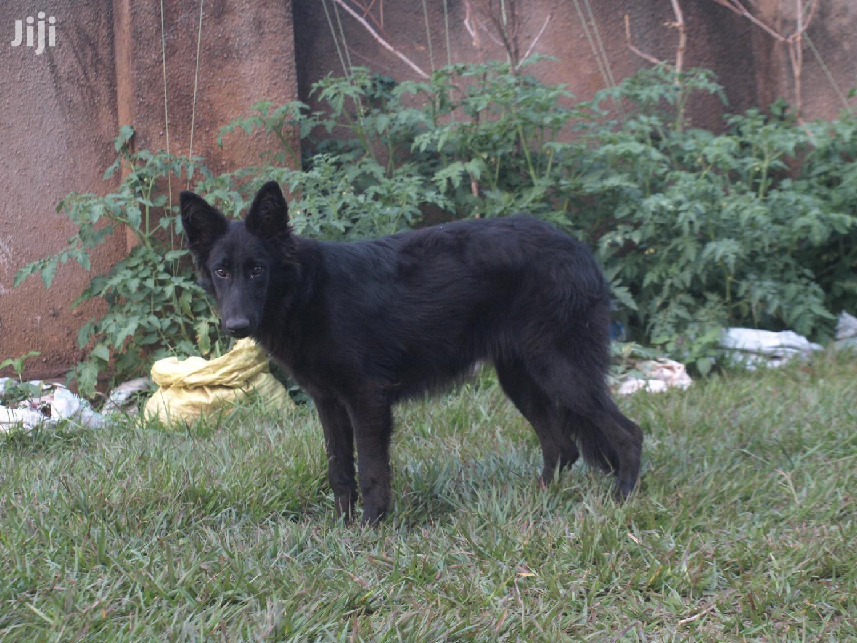 Archive: Baby Female Purebred German Shepherd