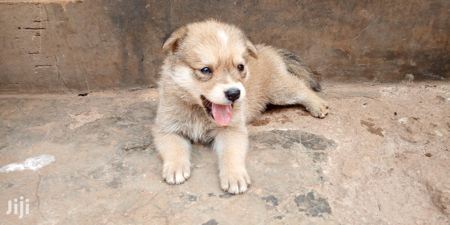 Archive: Baby Male Mixed Breed German Shepherd