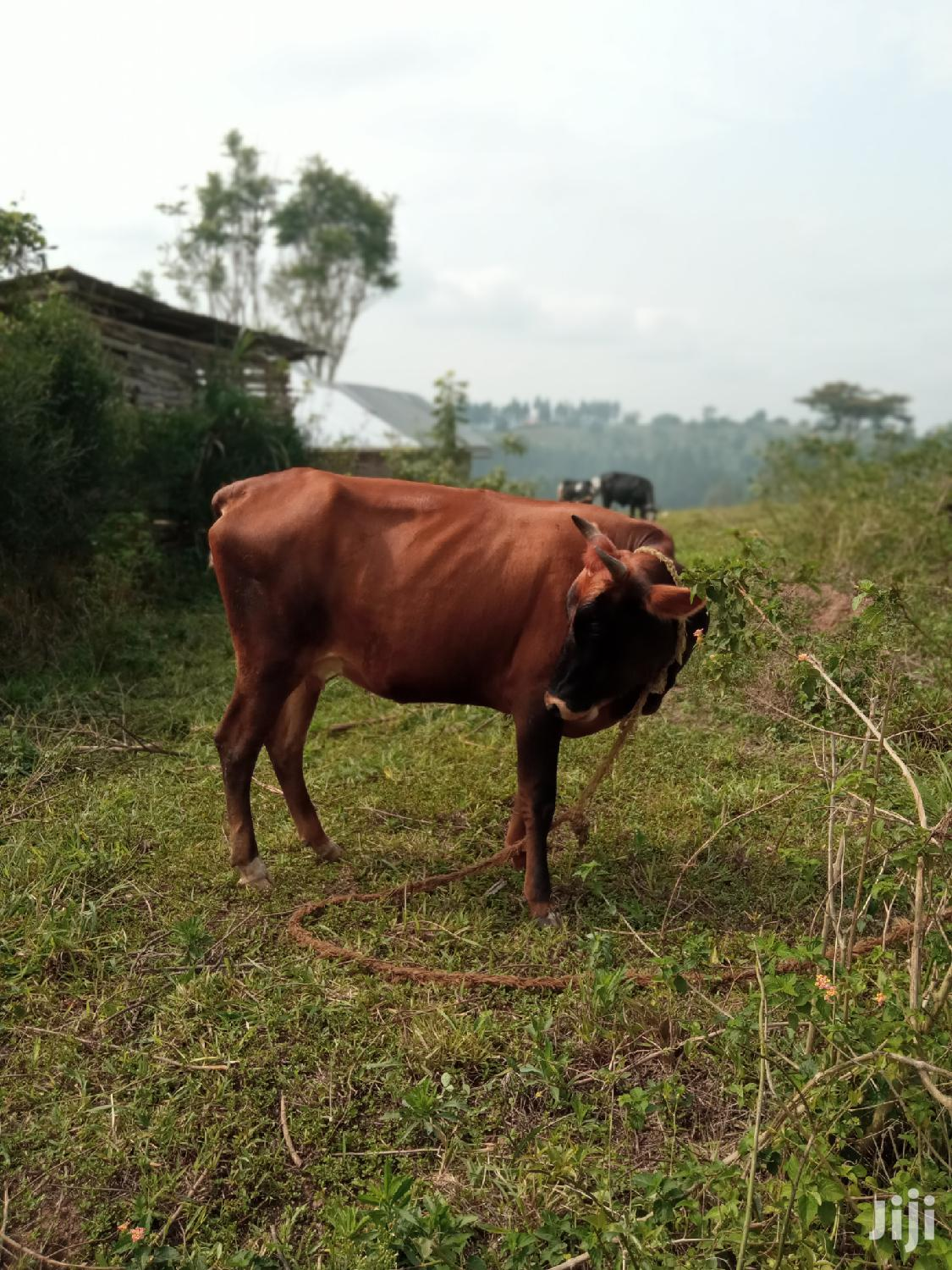Archive: Cows For Sale