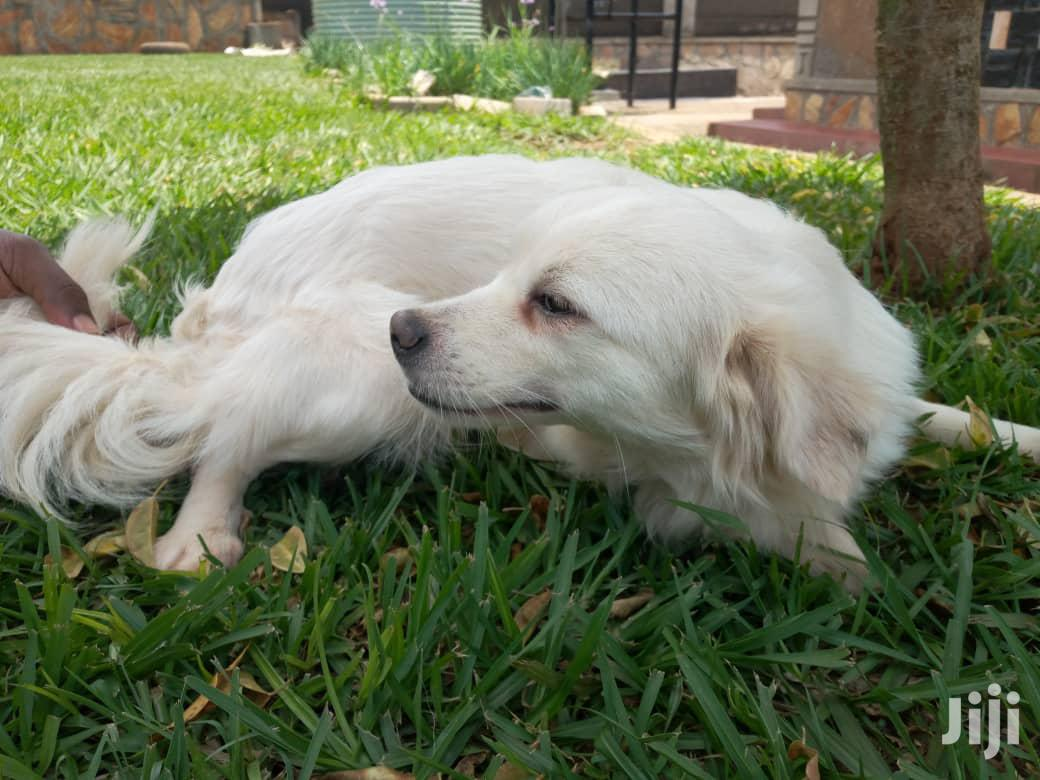Adult Female Purebred Japanese Spitz | Dogs & Puppies for sale in Kampala, Central Region, Uganda