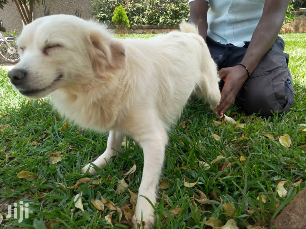 Young Female Purebred Japanese Spitz | Dogs & Puppies for sale in Kampala, Central Region, Uganda