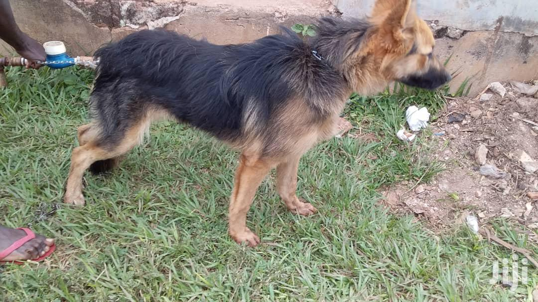Adult Male Purebred German Shepherd | Dogs & Puppies for sale in Kampala, Central Region, Uganda