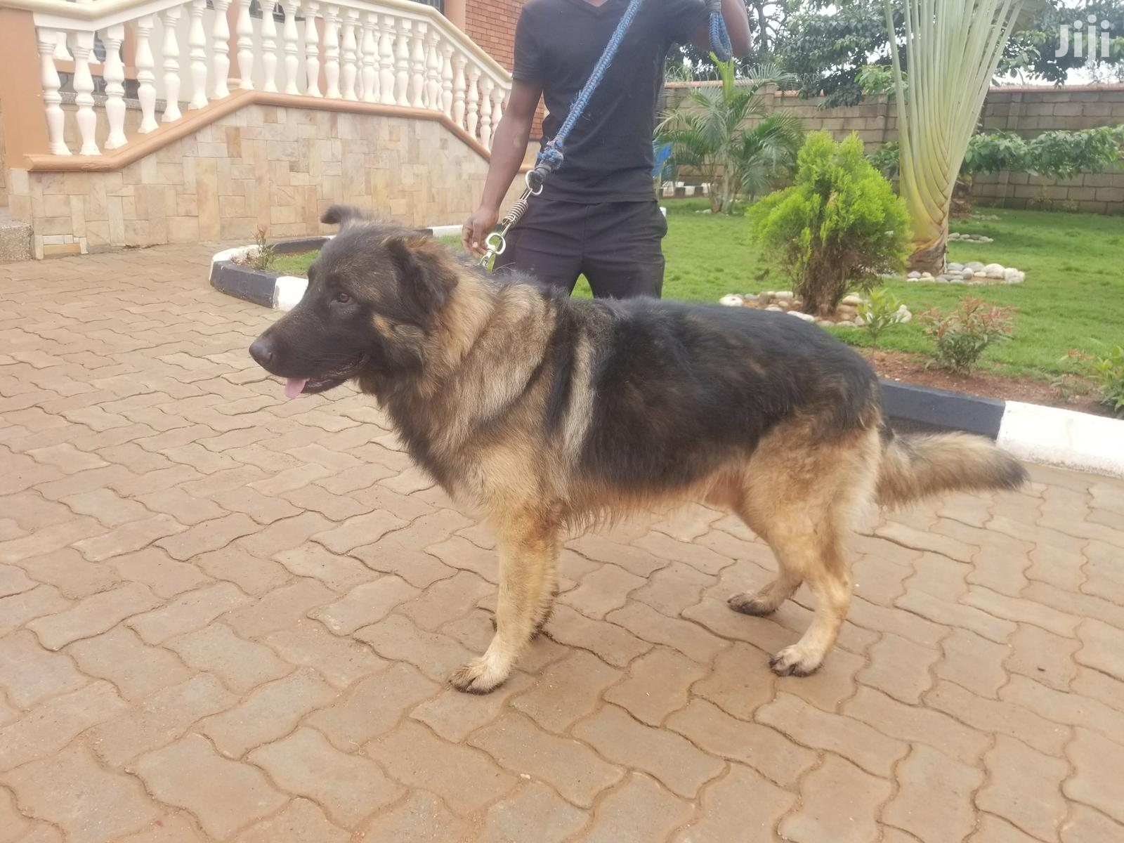 German Shepered Male for Mating