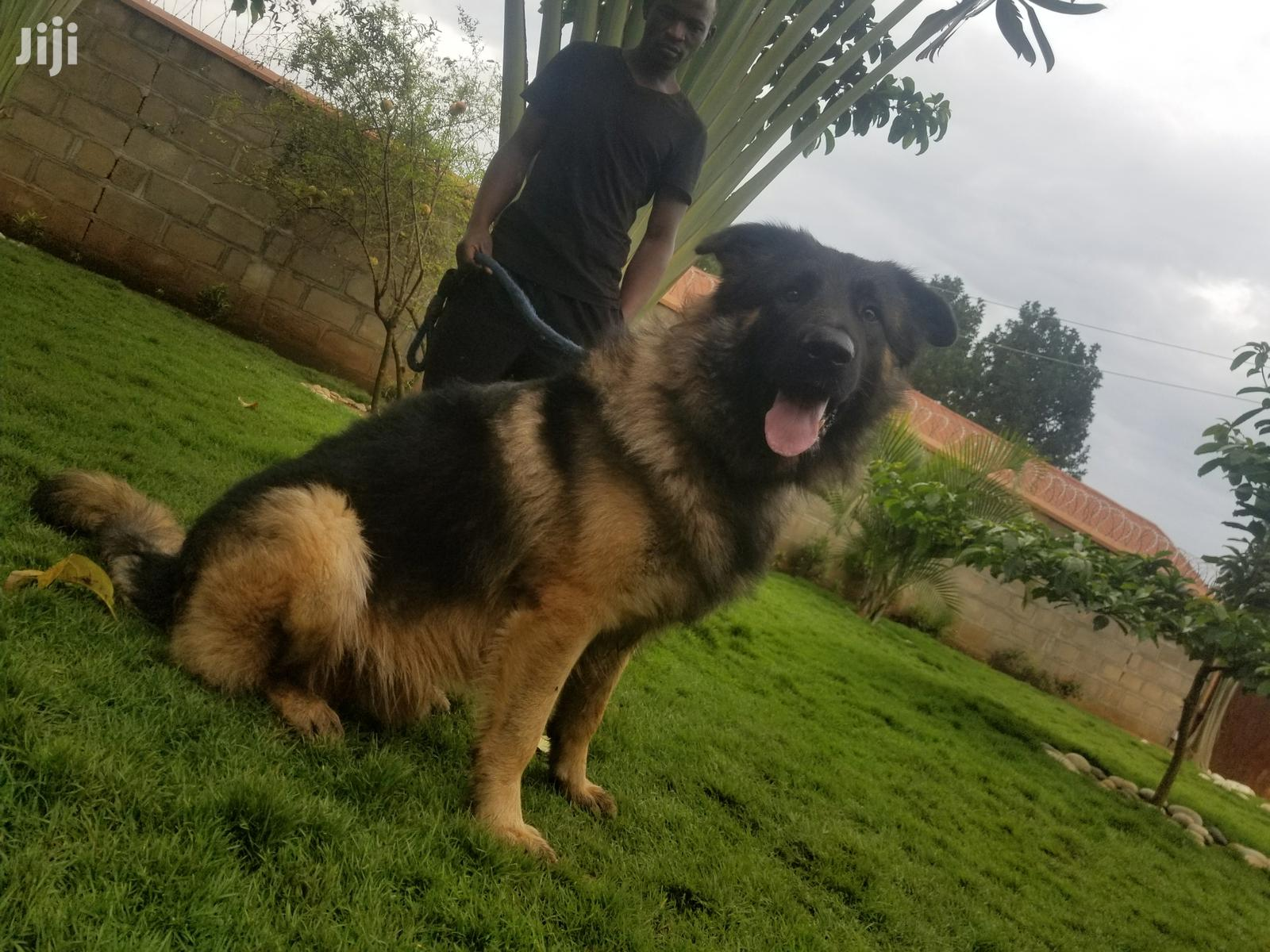 German Shepered Male for Mating | Dogs & Puppies for sale in Kampala, Central Region, Uganda