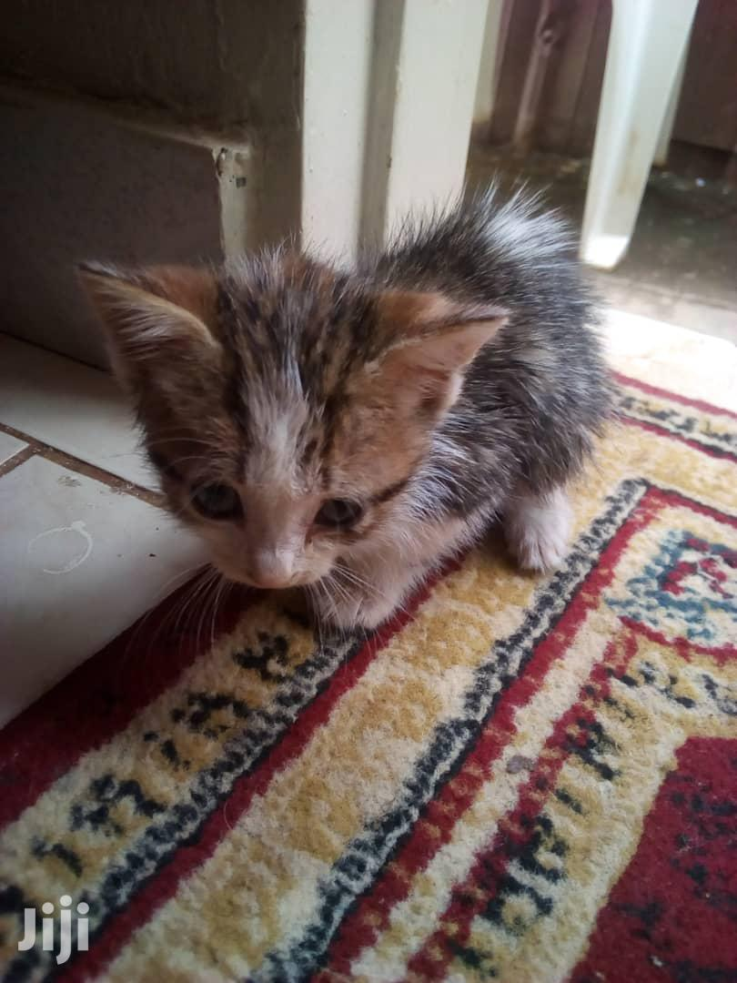 0-1 Month Male Mixed Breed Cat | Cats & Kittens for sale in Kampala, Central Region, Uganda