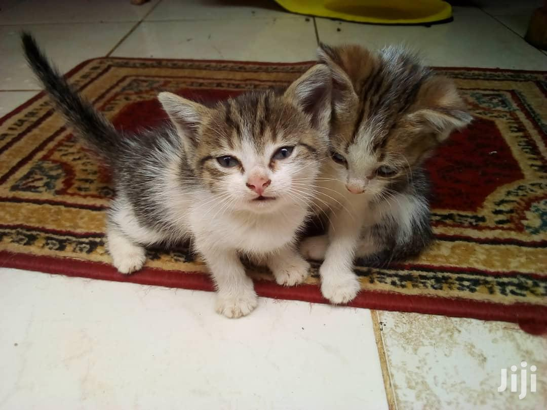 0-1 Month Male Mixed Breed Cat