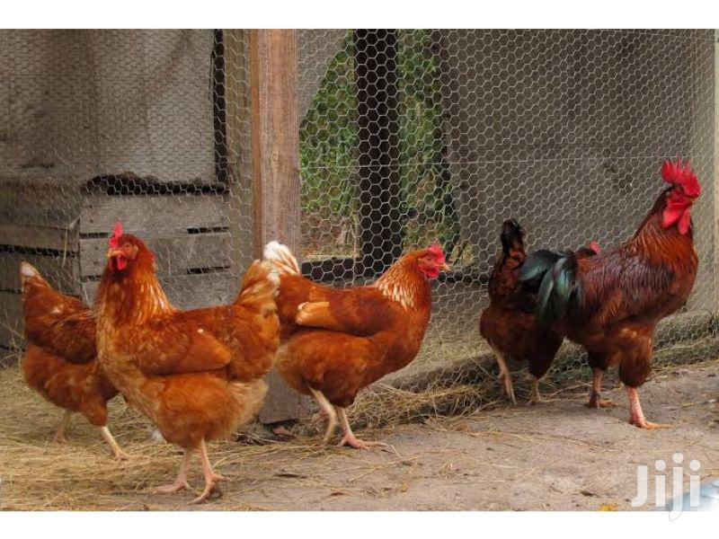 Archive: Chickens