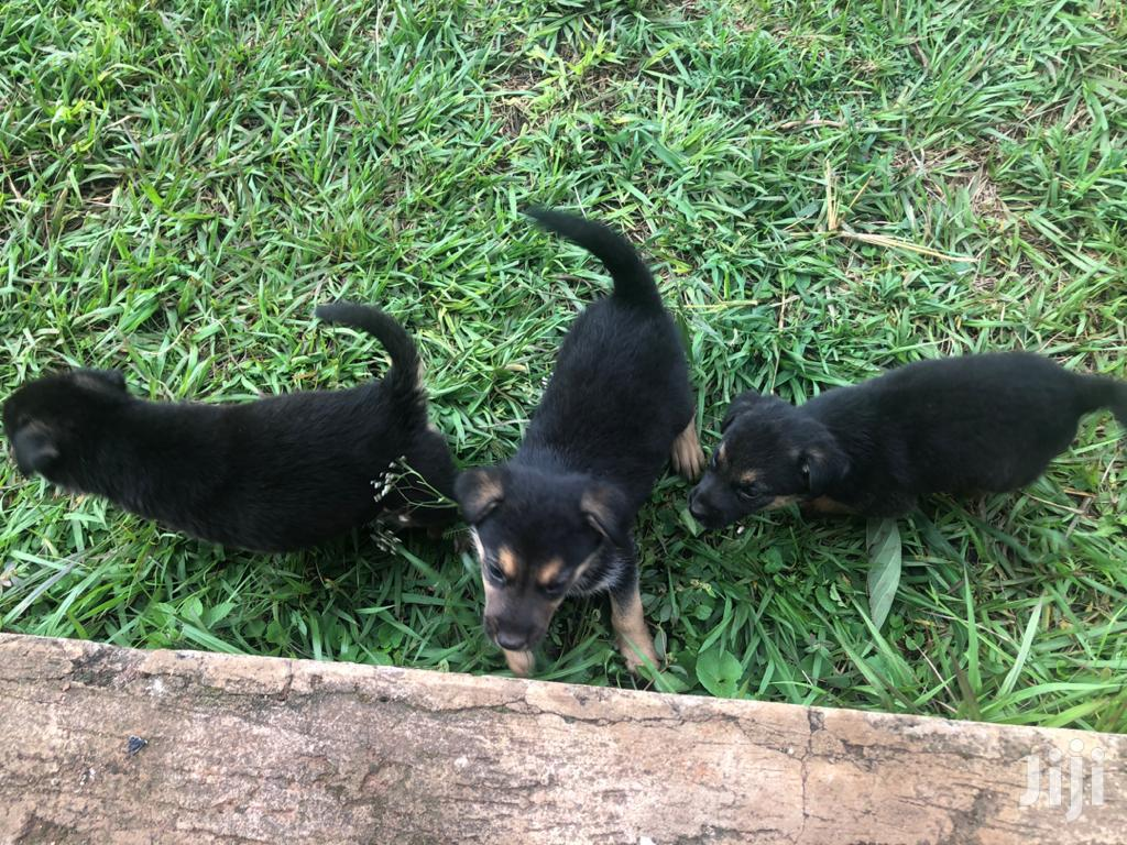 Baby Male Purebred German Shepherd   Dogs & Puppies for sale in Kampala, Central Region, Uganda