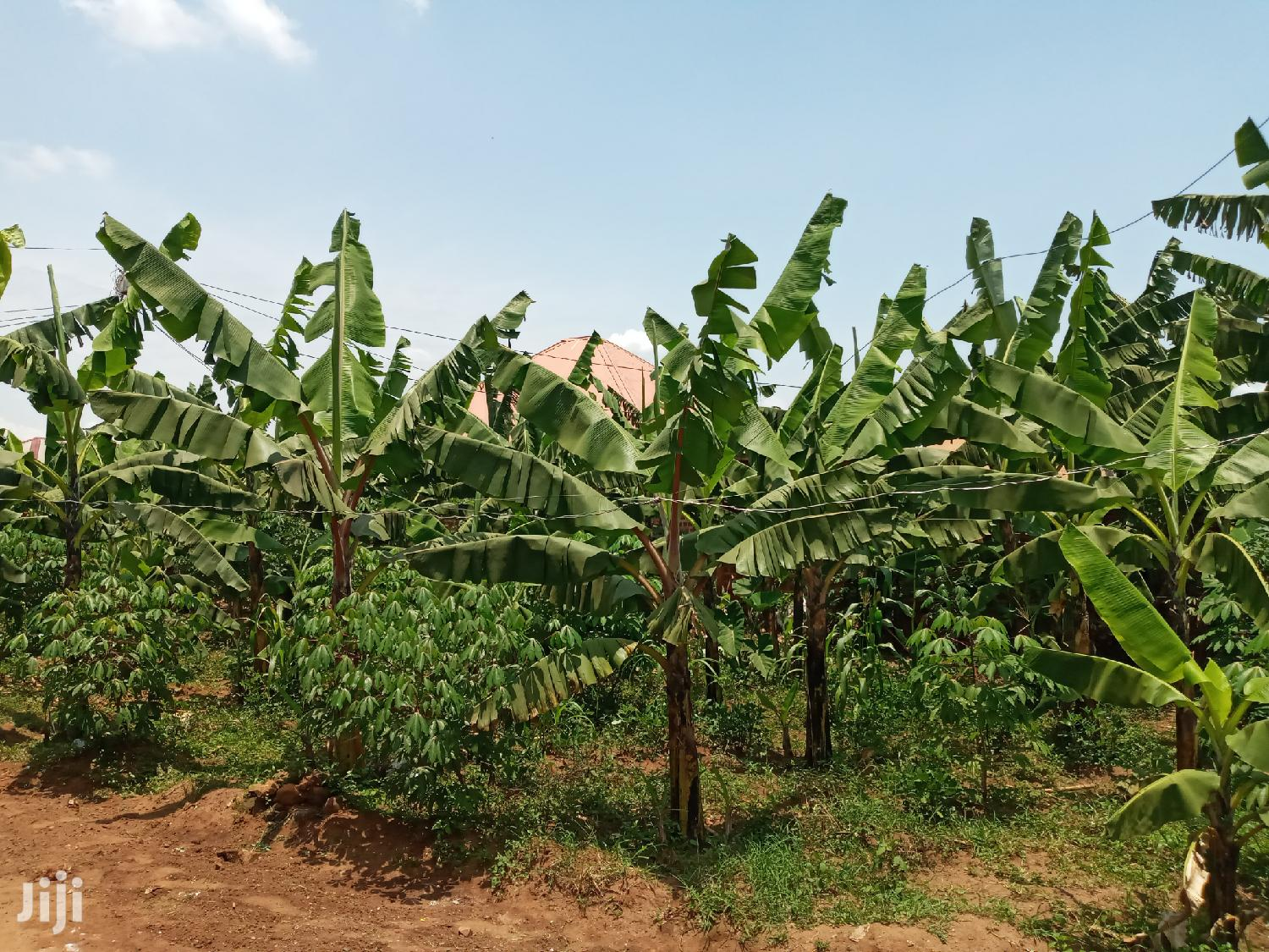 Very Hot Big Plot on Quicksale With Bananas and Cassava