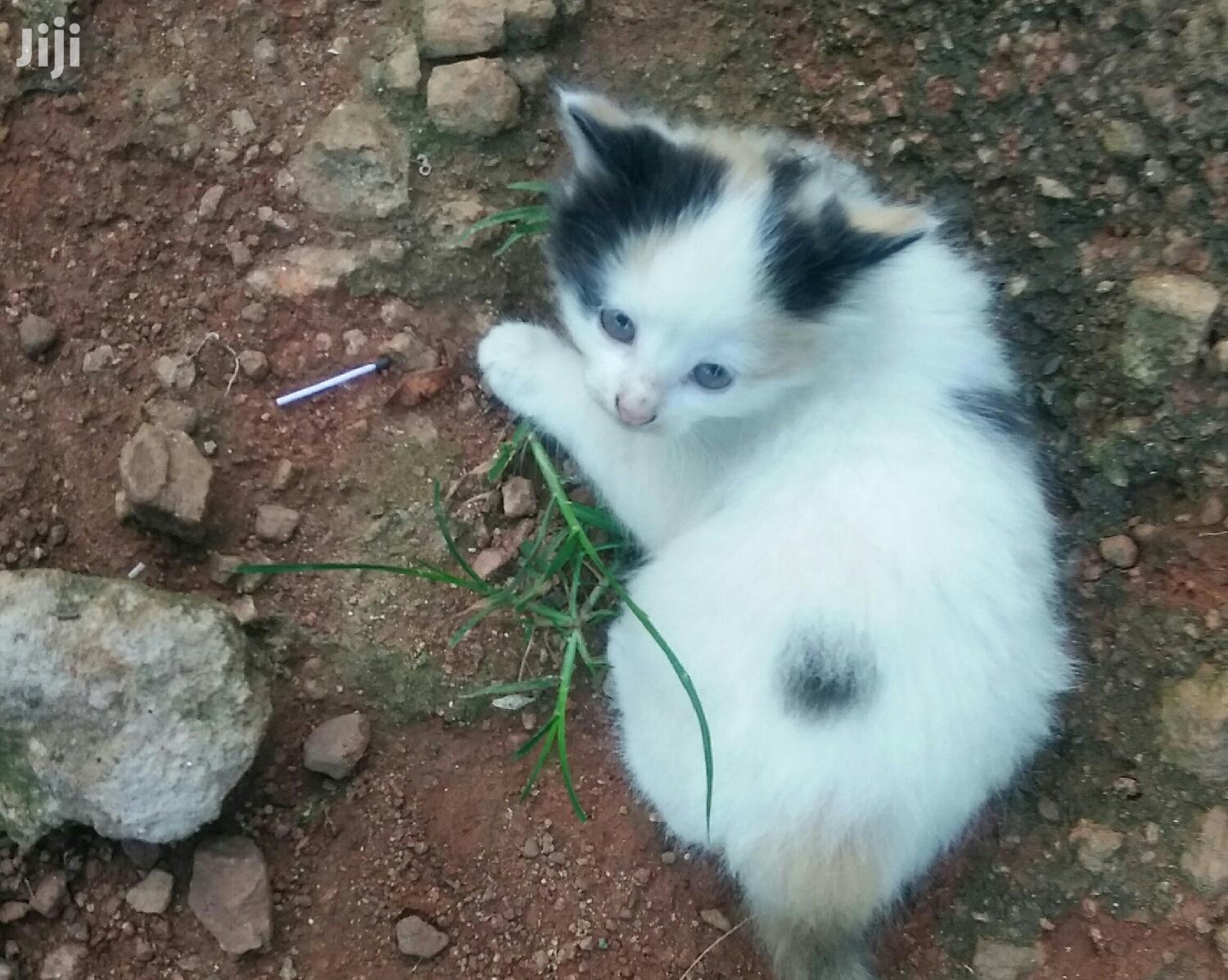 Archive: Baby Male Mixed Breed Cat