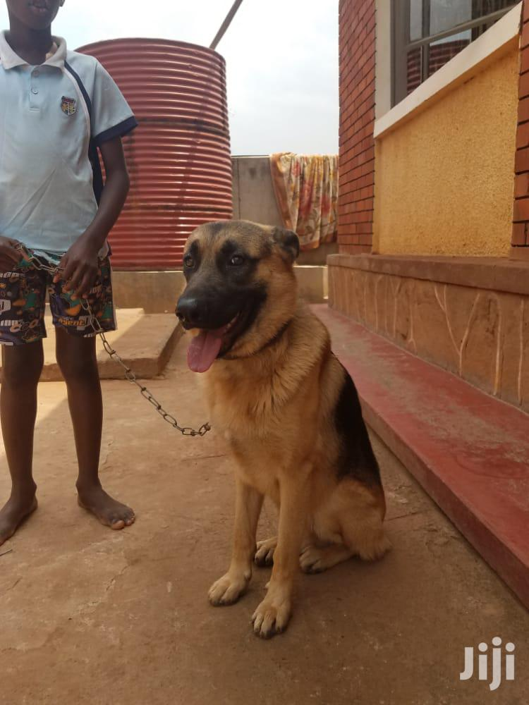 Adult Male Mixed Breed German Shepherd | Dogs & Puppies for sale in Kampala, Central Region, Uganda