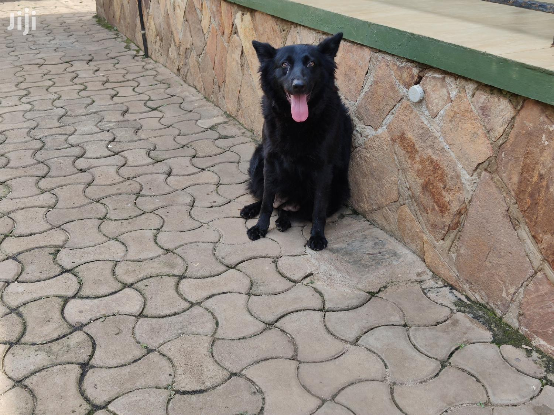1 Year Above Female Purebred German Shepherd