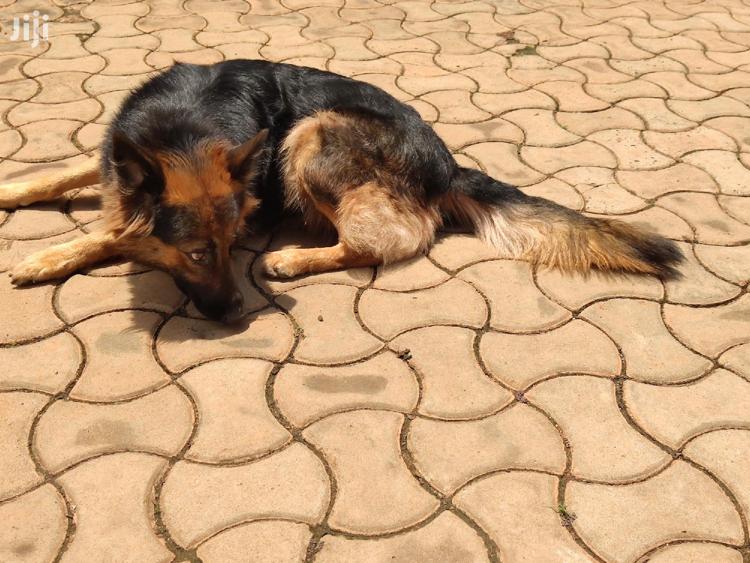 1 Year Above Female Purebred German Shepherd | Dogs & Puppies for sale in Kampala, Central Region, Uganda