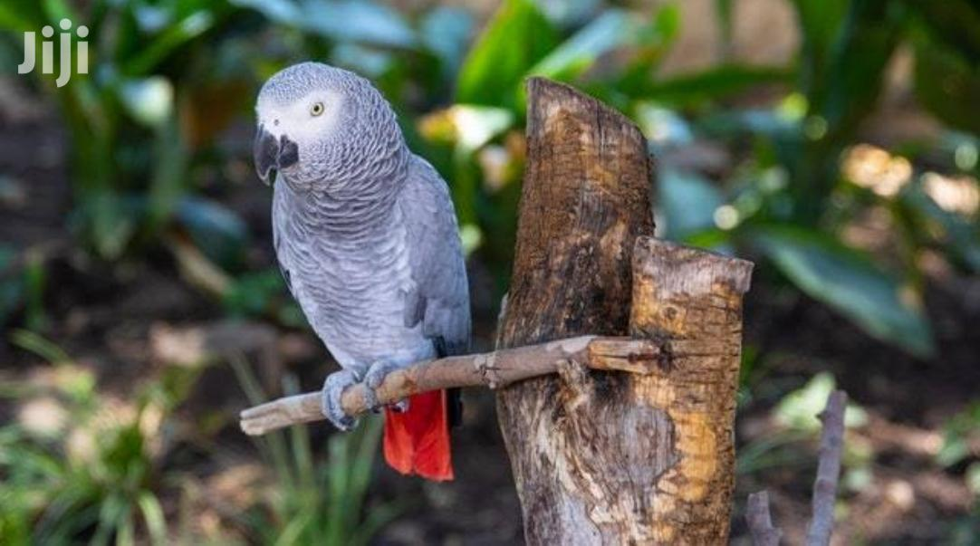 African Grey Parrots | Birds for sale in Kampala, Central Region, Uganda