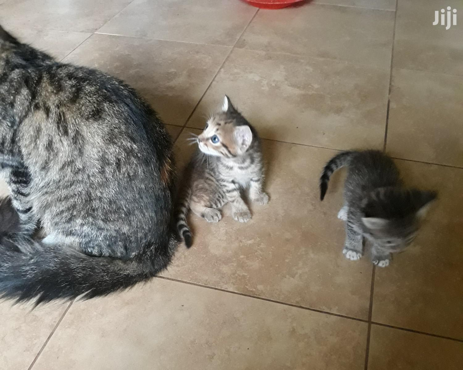 Archive: 1-3 month Female Mixed Breed Cat