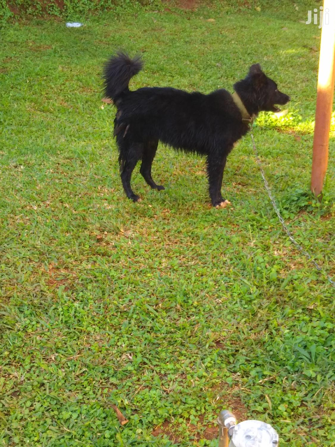 6-12 Month Male Purebred German Shepherd   Dogs & Puppies for sale in Kampala, Central Region, Uganda