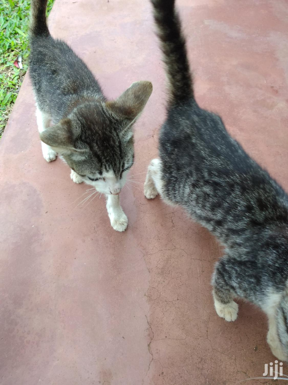 Archive: 3-6 month Female Purebred Cat