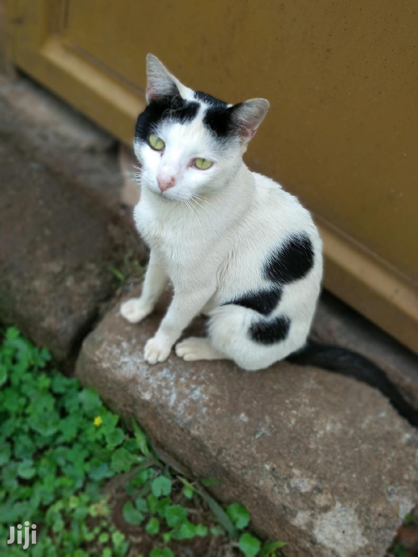 Archive: 1+ year Female Purebred Cat