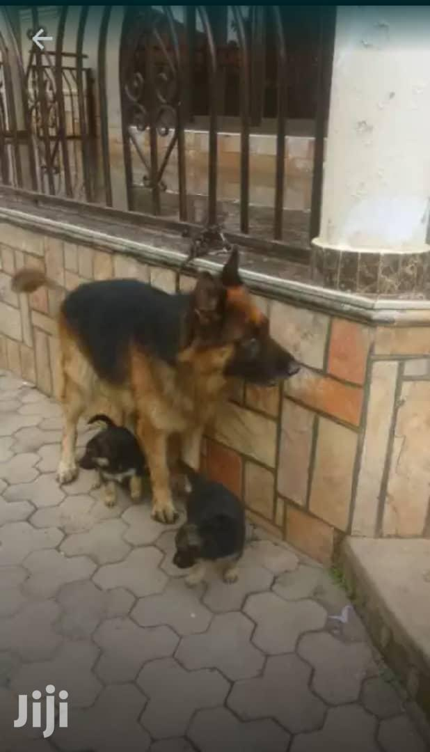 1-3 Month Male Purebred German Shepherd | Dogs & Puppies for sale in Kampala, Central Region, Uganda