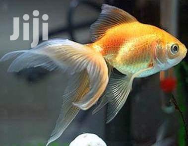 Freshwater Aquarium Fish | Fish for sale in Kampala, Central Region, Uganda