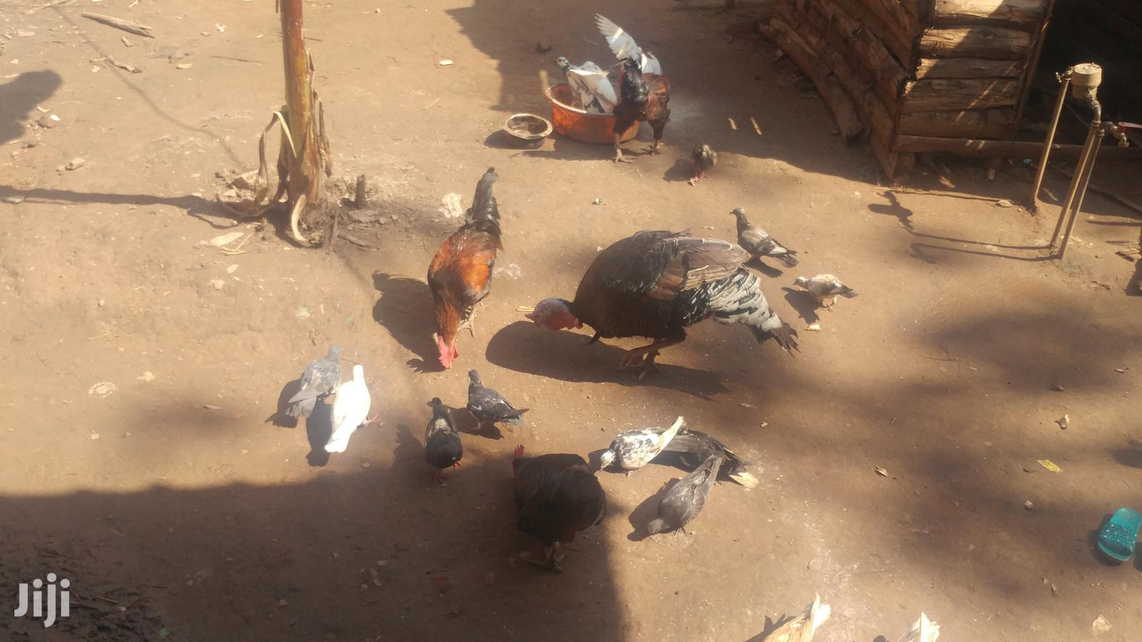 Archive: Mature Healthy Pigeons