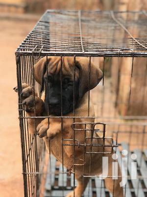 1-3 Month Male Purebred Boerboel | Dogs & Puppies for sale in Central Region, Kampala